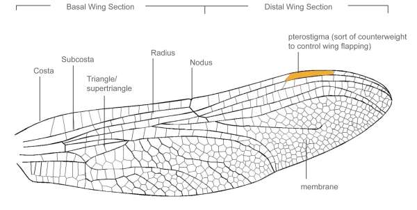 Diagram Of A Dragonfly Wing Electrical Work Wiring Diagram